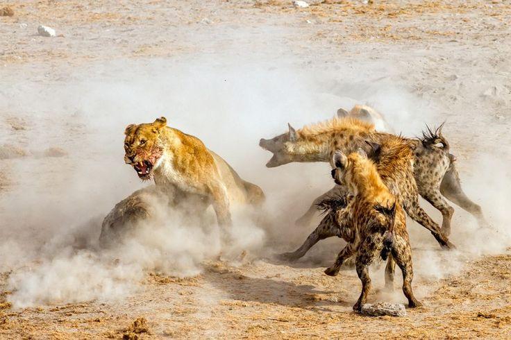 """""""Είμαι θυμωμένη..."""". «Φτάσαμε σε μία πηγή νερού στο Etosha National Park αργά το απόγευμα. Τέσσερα λιοντάρια έτρωγαν μία τεράστια αντιλόπη που είχαν σκοτώσει. Κάποιες ύαινες που είχαν μυρίσει το αίμα της αντιλόπης πλησίασαν και ακολούθησε μια μεγάλη μάχη ανάμεσα στα 4 λιοντάρια και σε περιπου 16 ύαινες». © NingYu Pao / 2016 National Geographic Nature Photographer of the Year"""