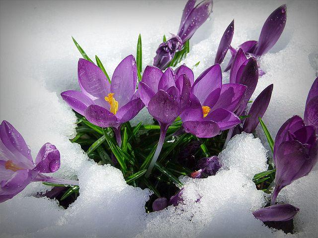 crocus snow.73509232bfe566ccb38573e277527648.png (640×480)