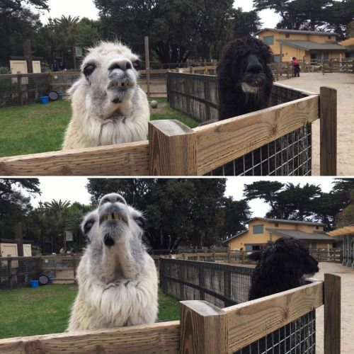 nice Gandalf & Merlin ❤️ (at San Francisco Zoo)