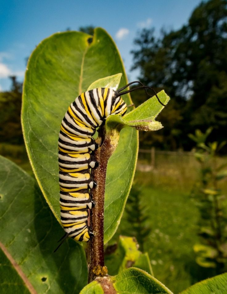 A monarch caterpillar feeds on milkweed on Laura and Mike