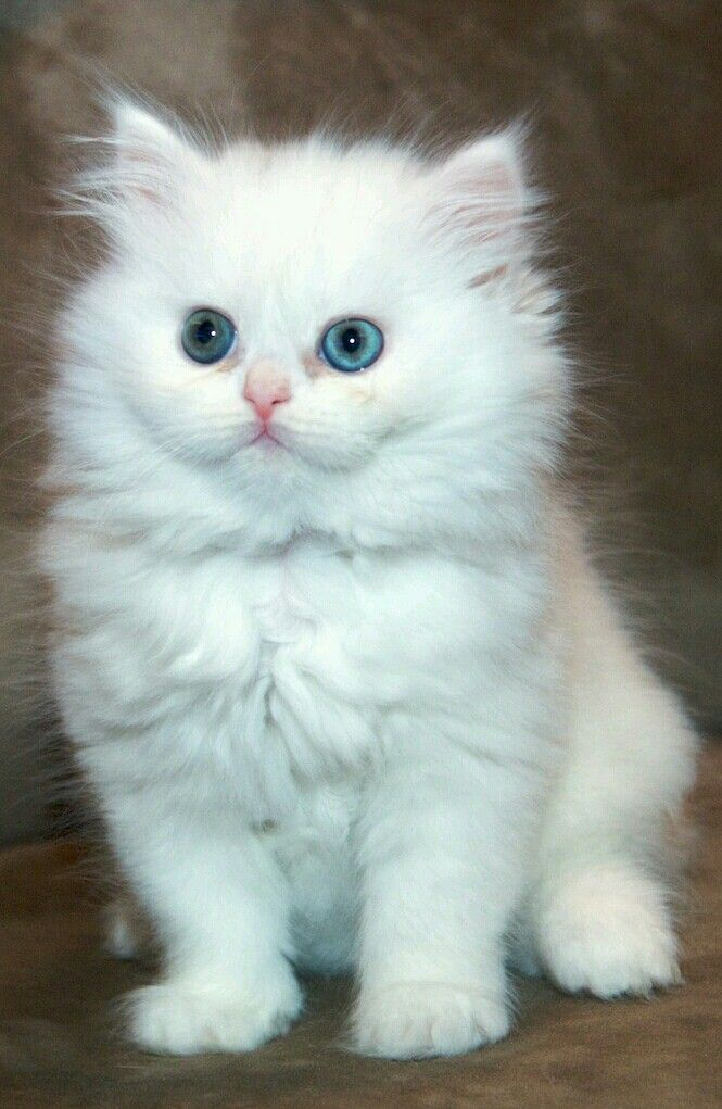 Cats White Blue Eyed Persian Kitten By Funny Q8i