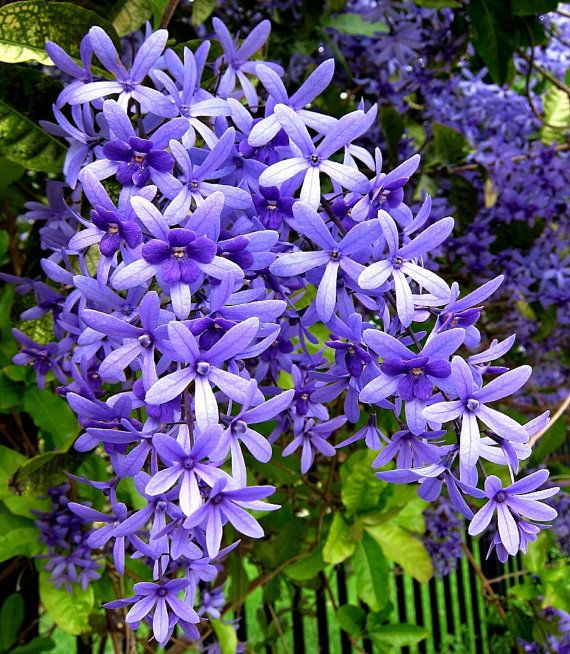 Queens Wreath is a glorious vine from Mexico that blooms long tresses of lavender blue blossoms that resemble tiny orchids. All vine collectors desire