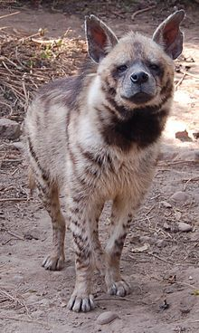 The striped hyena (Hyaena hyaena) is a species of true hyena native to North and East Africa, the Caucasus, the Middle East, Middle and Central Asia and the Indian Subcontinent. It is listed by the IUCN as near threatened, as the global population is estimated to be under 10,000 mature individuals which continues to experience deliberate and incidental persecution.