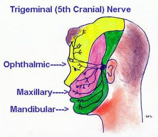 trigeminal neuralgia thesis If such a thesis is to explain features of clinical trigeminal neuralgia 5 none the less we feel that a c studies of trigeminal nerve potentials in.