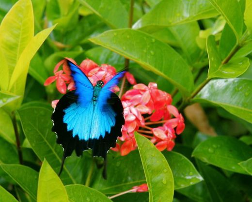 The Ulysses butterfly (Papilio ulysses), also known as the Blue Mountain Butterfly, or the Blue Mountain Swallowtail is a large Australian swallowtail. The Ulysses butterfly has a wingspan of about 14 cm (5.5 inches). It lives in northeastern Austr