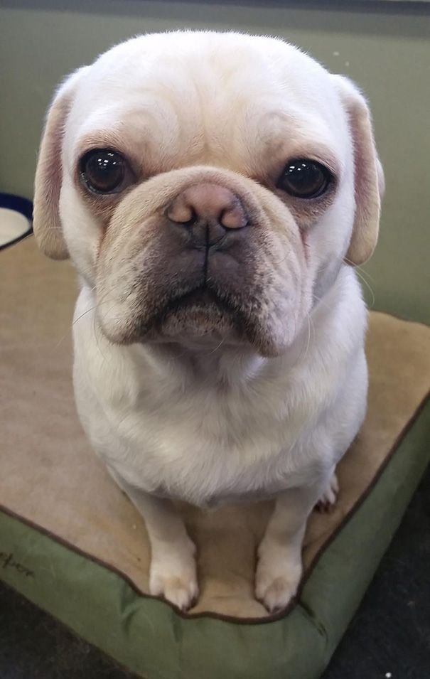 This Is My Dog, Stanley. He's A Pug And French Bulldog Mix