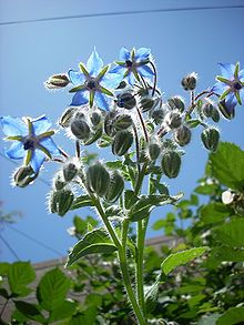 Borago officinalis. Traditionally used as a garnish in the Pimms Cup.
