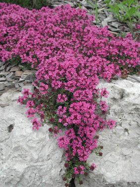 "Red Thyme forms a low carpet spreading 18"" with magenta flowers in May. Evergreen and very drought tolerant once established."
