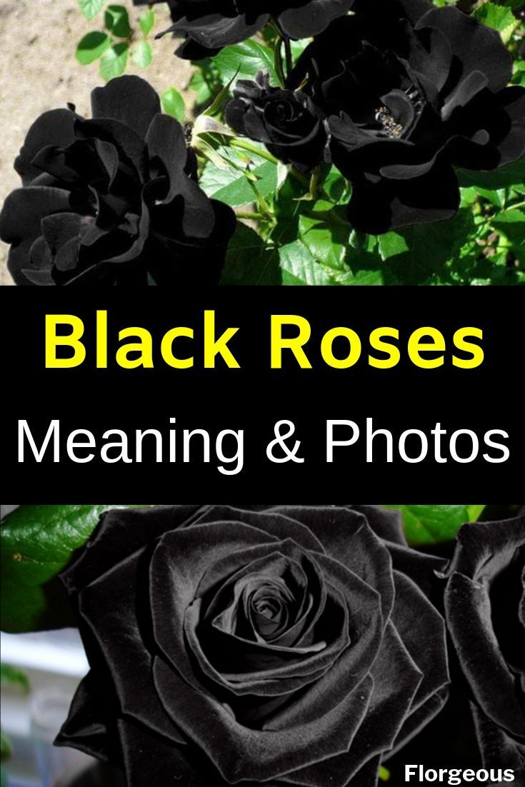Black Roses Meaning And Pictures Black Rose Black Rose Meaning Planting Flowers,Lovebirds As Pets