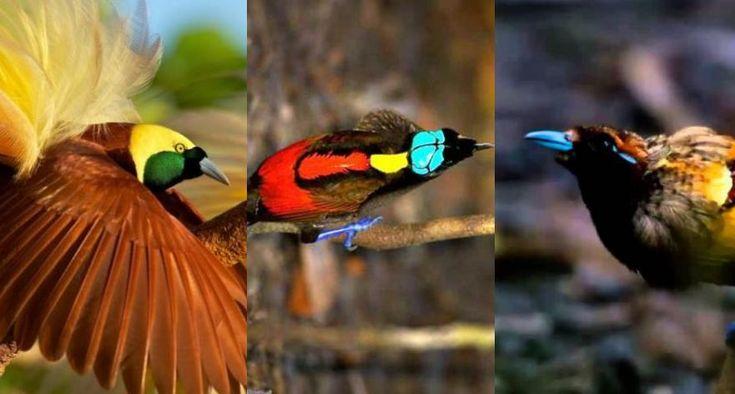 Download Suara Burung Cendrawasih Lengkap Suara Burung