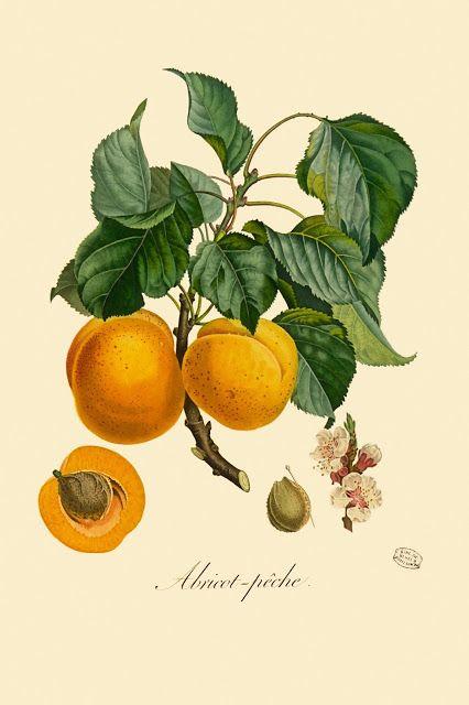 [Apricot. © Muséum national d'Histoire naturelle, Dist. RMN / image du MNHN, bibliothèque centrale, Bouquet Louis (1765-1814)]