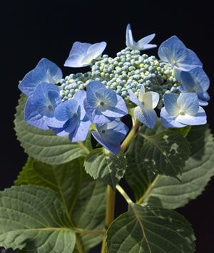 blaue Tellerhortensie