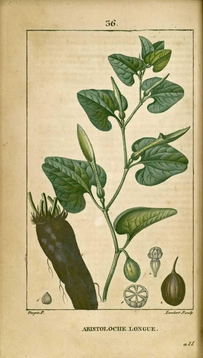 flore medicale - flore medicale - aristoloche longue - Gravures, illustrations, dessins, images