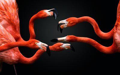Scarica sfondi I fenicotteri rosa, gli uccelli esotici, rosa uccelli, fenicotteri