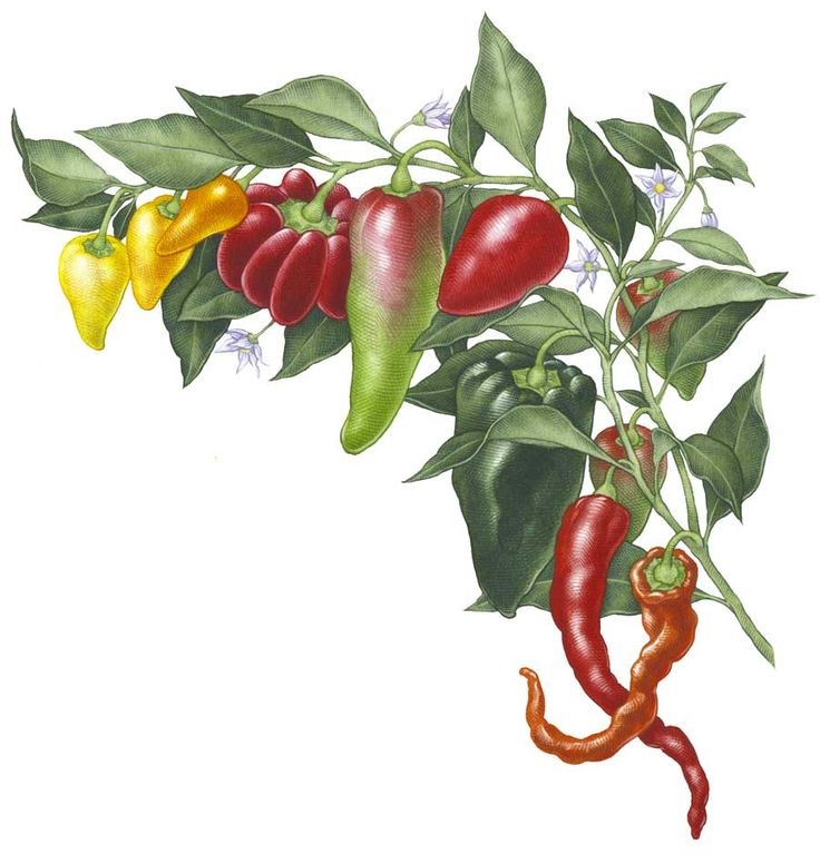 371 Best Images About Tips For Growing Hot Peppers On 400 x 300