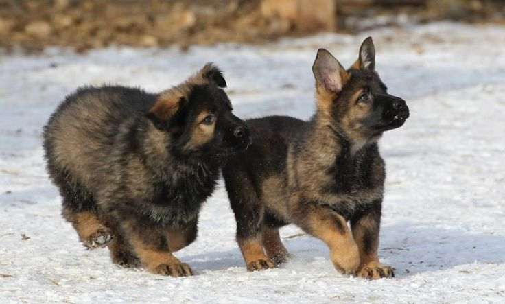 DDR German shepherd puppy