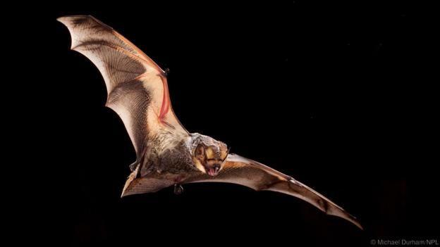 A hoary bat (Lasiurus cinereus) in flight (Credit: Michael Durham/NPL)