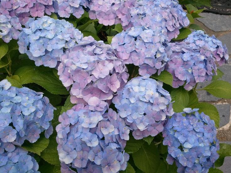 Hydrangeas in my garden, South Korea