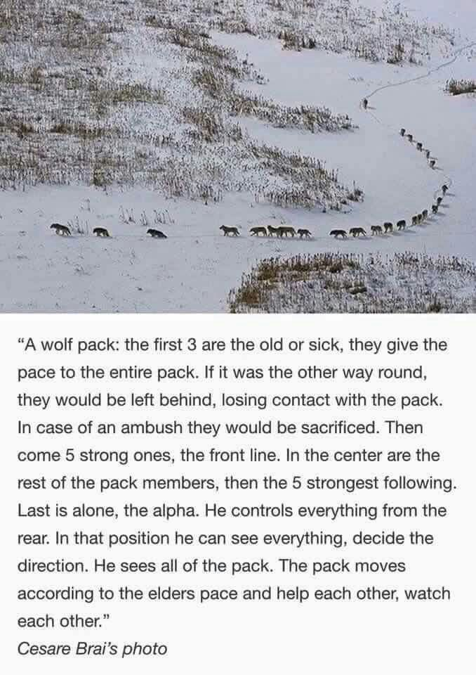 A Wolf Pack is a care taking family