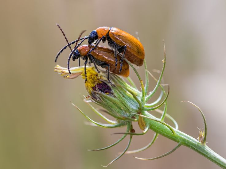 Orange beetles mating | Flickr - Photo Sharing!