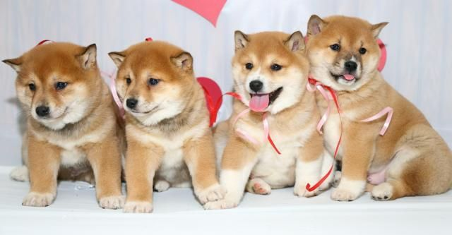 Shiba-Inu Puppy for Sale
