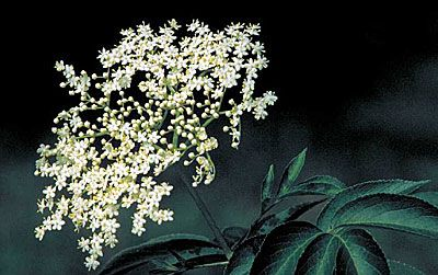 Foraging, Growing and Using the Versatile Elderberry
