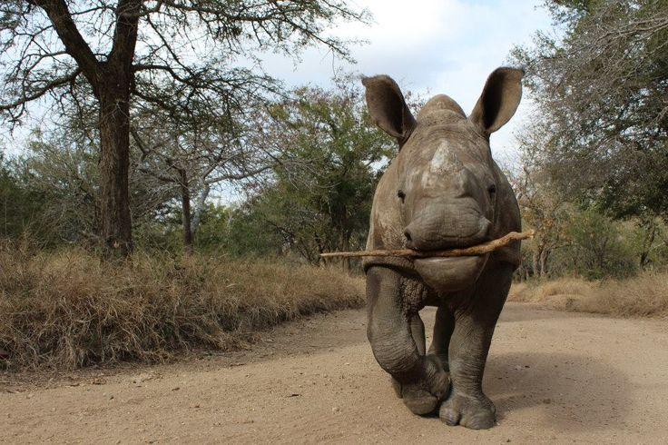 Rescued orphaned rhino Gertjie at the Big Cat & Endangered Wildlife volunteer project
