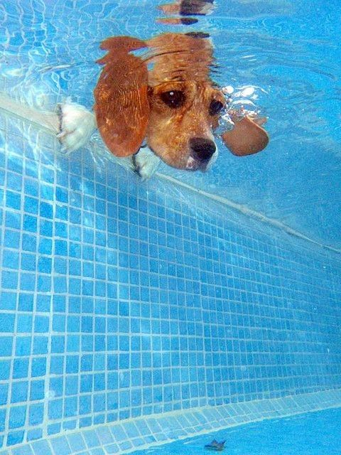 ...Swimming Pools, Puppies, Dogs Photography, Peek A Boos, Pets, Beagles, Underwater Dogs, Baby Animal, Baby Dogs