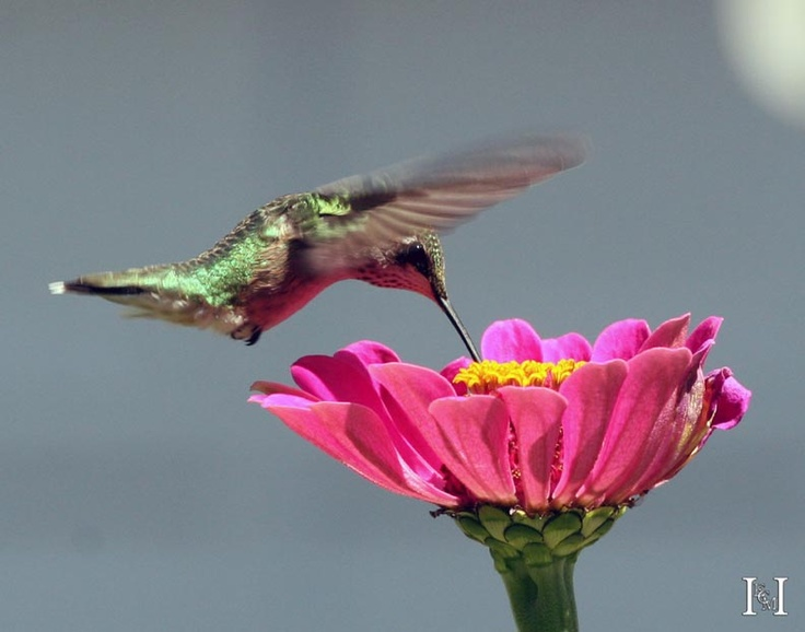 Backyard Habitat - Homewood - Illinois - Hummingbird