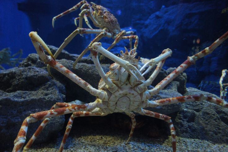 Spider crab in Osaka Aquarium! They look large but they're very friendly. This tank was filled with crabs and large fish together. Osaka Aquarium is one of the largest in the world.
