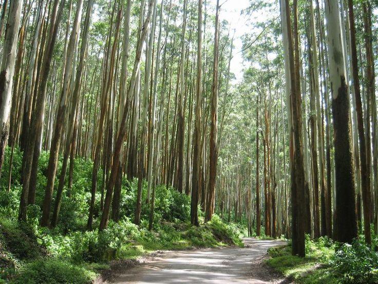 Eucalyptus Forest - Ooty, India