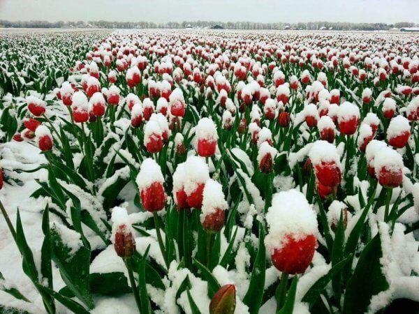 Így néznek ki a kiskertek virágai az áprilisi havazás után: virágzó gyümölcsfákat, orgona bokrokat, tulipánokat és nárciszokat lepett el a hó https://balkonada.hu/aprilisi-havazas-szinezte-kiskerteket/