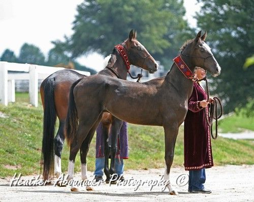 AKhal Teke Colt and Stallion - gladiator victory