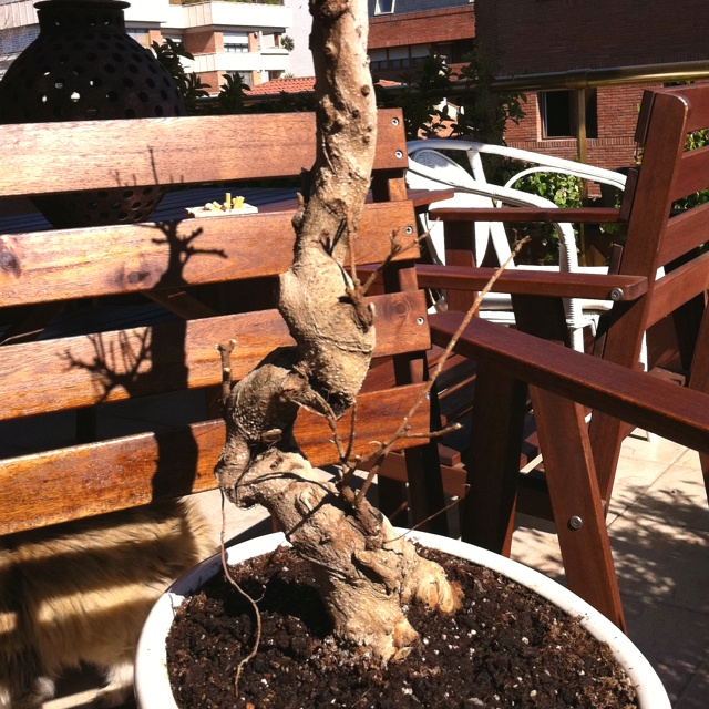 Dry but nice japanesse bonsai