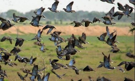 10 Dove Hunting Tips to Help You Shoot for Success