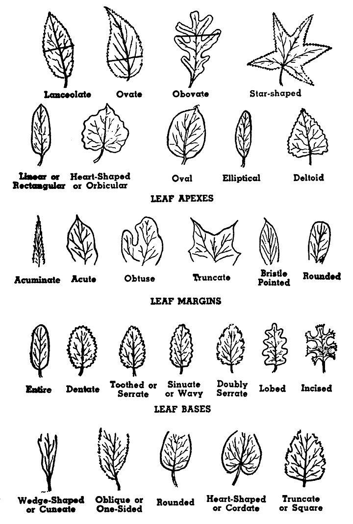 Tree Leaf Shapes