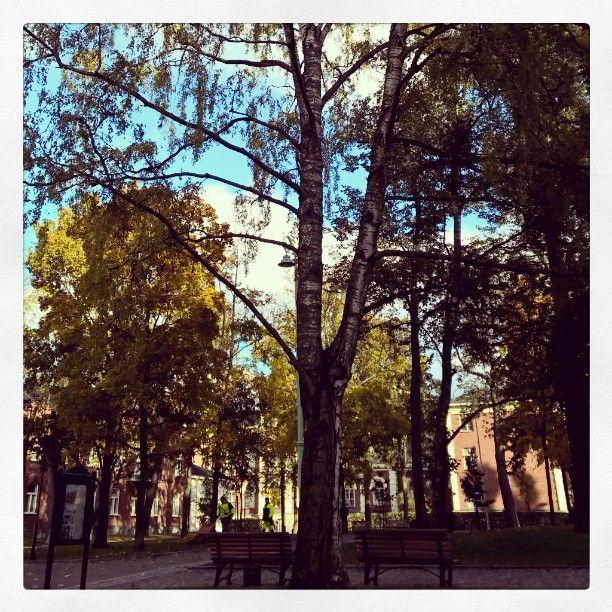 Liuskalehtinen koivu Sibeliuksenpuistossa, alla puistopenkki, joka soittaa Koivu kappaletta Sibeliuksen puusarjasta