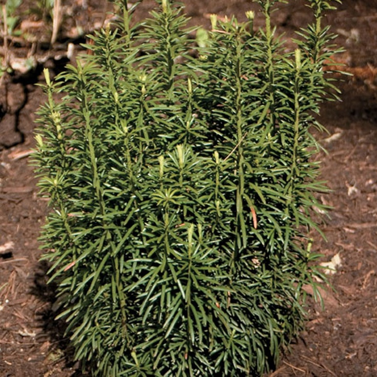 Cephalotaxus harringtonia fastigiata japanese plum yew for Garden yew trees