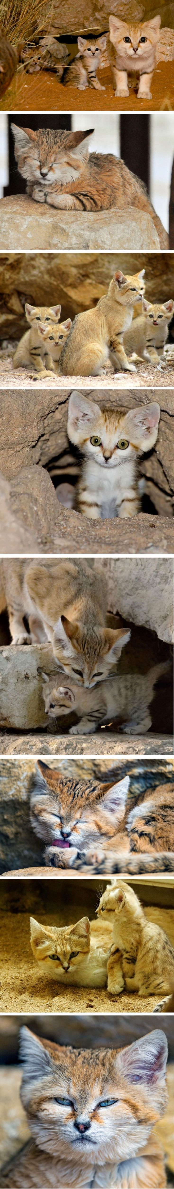 Sand cats are the Peter Pan of felines: they retain a kitten-like appearance their whole lives, giving the impression that they never grow up. Although they live in the desert Areas of North Africa, Arabia, Central Asia, and Pakistan, they are considered near threatened due to the illegal pet trade and sport hunting.