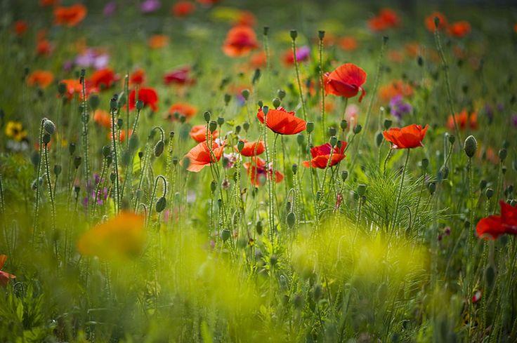 Poppy Meadow | by Jacky Parker Floral Art