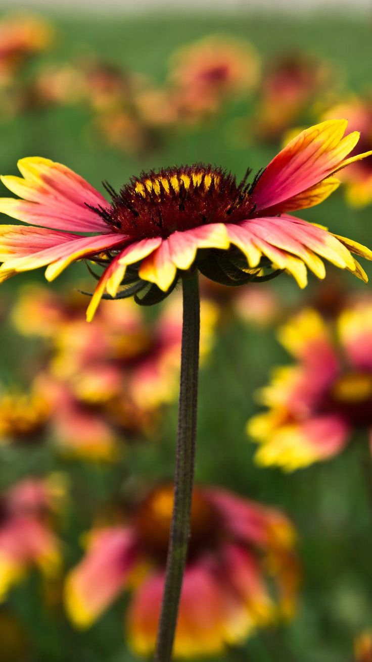 Oklahoma State wildflowerGallardia Flowers, Flowers