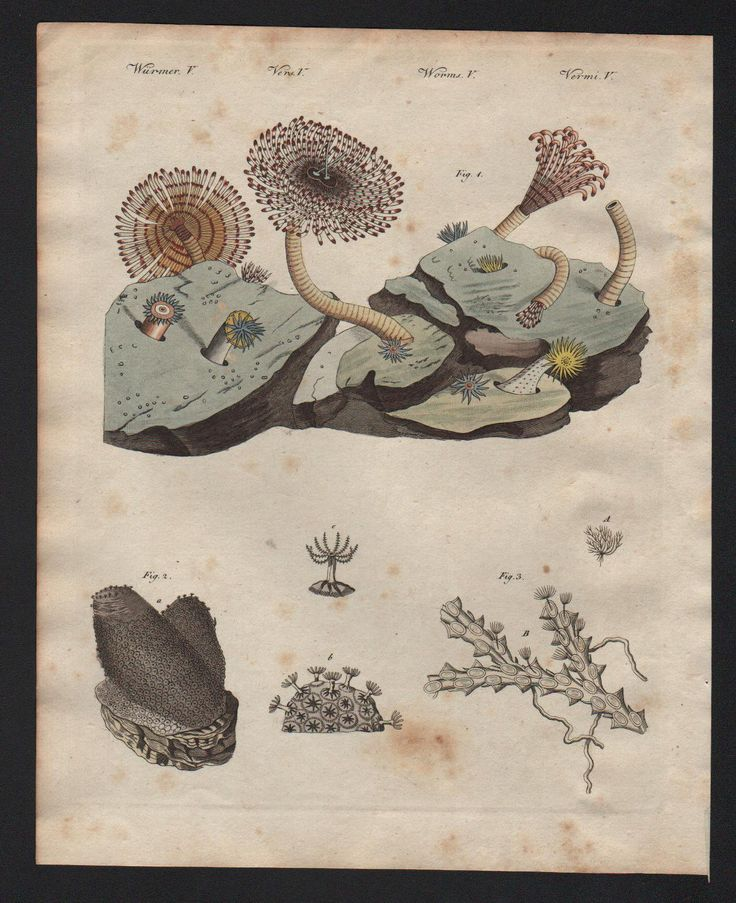 1800 - Seeanemonen Koralle Korallen Schwamm Bertuch Kupferstich engraving   eBay