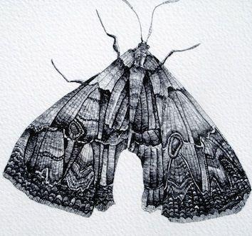 Detailed Moth Drawing - Kate Morgan - Artist & Illustrator