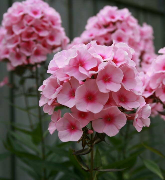 tall garden phlox are a beauty to behold phlox hybrids mix is a perennial cultivated strain