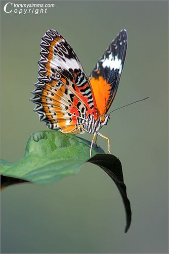 ~~Butterfly Perfection Through Transformation by Tommy Simms~~