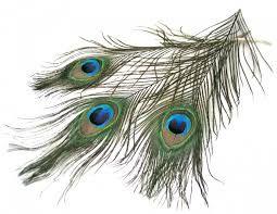 Výsledok vyhľadávania obrázkov pre dopyt pávie perá