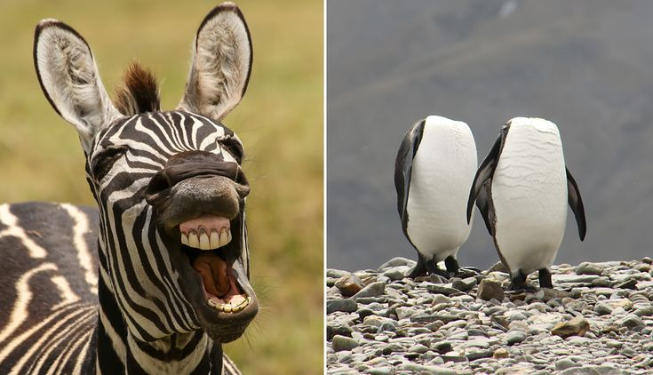 (Left) A male zebra shows his teeth in Ngorongoro Crater, Tanzania. Photo by Alison Mees/The Comedy Wildlife Photography Awards. (Right) A pair of King penguins in south Georgia were captured preening themselves simultaneously. Photo by Charles Kinsey/The Comedy Wildlife Photography Awards.