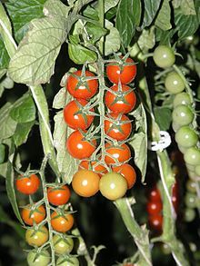 Tomate — Wikipédia