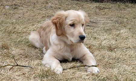 Jessie the Golden Retriever