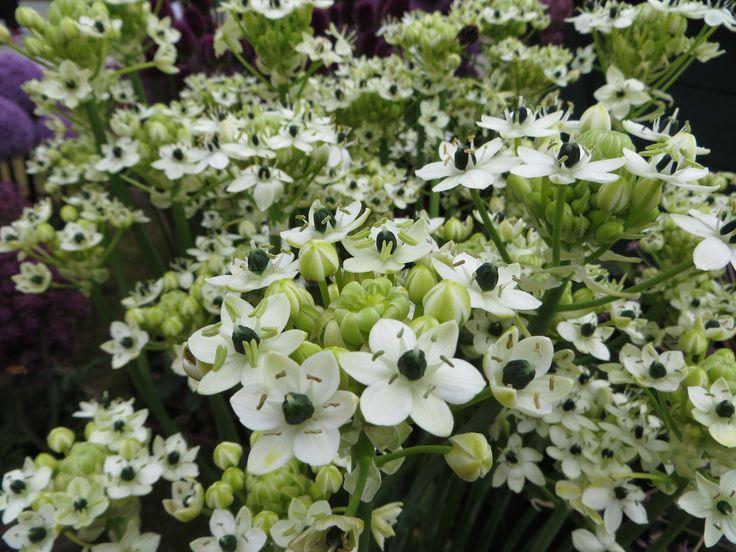 Ornithogalum Arabicum heeft witte bloemen met een zwart hart. De stervormige bloemen vormen samen clusters en geven een heerlijke geur af.